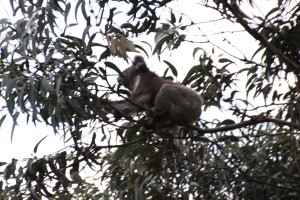 Koala bear having breakfast